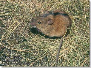 mousep.jpg